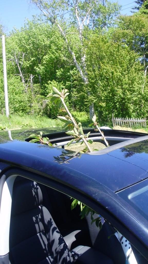 tree taking advantage of sunroof on Jetta sedan